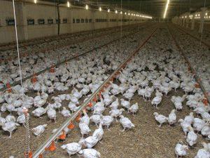 В Японии уничтожено около 92 тысяч кур из-за вируса птичьего гриппа