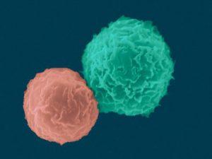 Как иммунные клетки оттачивают своё мастерство