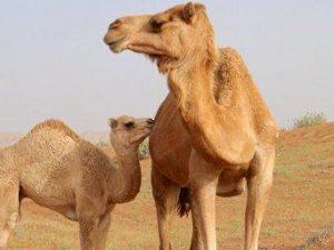 В ОАЭ найдены верблюды-разносчики коронавируса