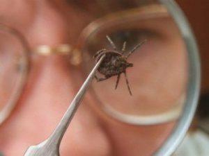 Маленький клещ может вызвать клещевой вирусный энцефалит, напоминают врачи