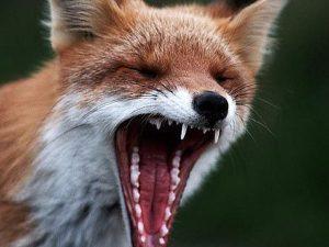 Ульяновские врачи спасли мужчину после укуса дикой лисы