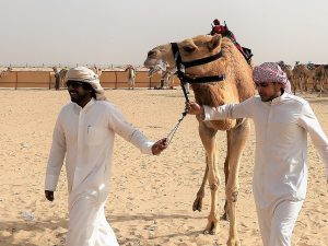 Роспотребнадзор предупреждает: в Арабских Эмиратах новый вирус, который передается от верблюдов