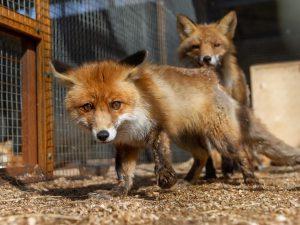 У мертвой лисы в Хабаровском крае обнаружили вирус бешенства