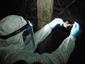 Ученые обнаружили у летучих мышей новый вирус лихорадки Эбола