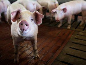 ПВС расследует: как вирус АЧС попал в свиноводческое хозяйство
