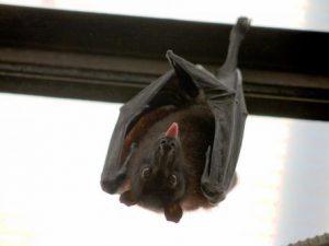 Вирус Эбола, обнаруженный у летучих мышей, может инфицировать людей