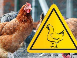 Опасный вирус косит птицу под Ростовом