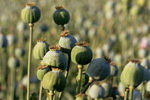 Правительство согласовало поправки, разрешающие выращивание наркосодержащих растений
