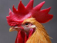 Генная модификация позволит остановить распространение птичьего гриппа