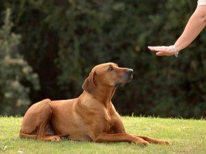Какие базовые правила воспитания собаки?