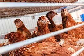 Прививки, как оказалось, способствуют распространению птичьего гриппа