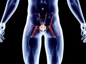 Что такое предстательная железа? Какова ее роль в мужском организме?