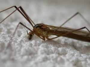 Хризантемы превратили в мощные фабрики по производству лекарства против малярии